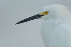 Snowy Egret (Egretta thula). Royalty Free Stock Photos