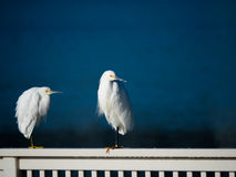 The snowy egreta Stock Photo