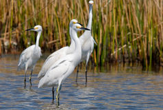 Snowy Egrets. Photograph of a group of Snowy Egrets feeding in a tidal marsh stock photo