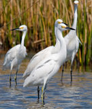 Snowy Egrets. Photograph of a small group of Snowy Egrets found along the Florida gulf coast royalty free stock photo