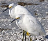 Snowy Egrets. On the Beach Royalty Free Stock Image