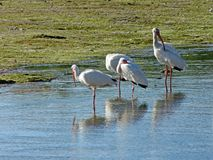 Snowy Egrets At  Ding  Darling National Wildlife Refuge Stock Photo
