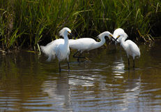 Snowy egrets, egretta thula, fishing Royalty Free Stock Photography