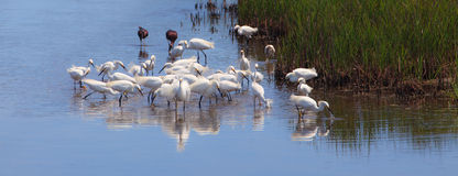 Snowy egrets, egretta thula, fishing Stock Images