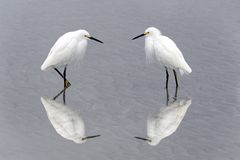 Snowy Egrets Facing Each Other Stock Photo