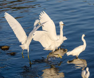Snowy Egrets fighting each other Royalty Free Stock Photo