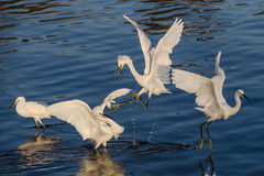 Snowy Egrets fighting each other Stock Photo