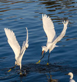 Snowy Egrets fighting each other Stock Images