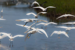 Snowy egrets flying in the marshes Stock Photos