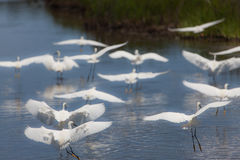 Snowy egrets flying in the marshes Royalty Free Stock Photo