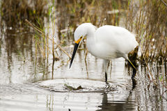 Snowy Egrets Hunting. Splash, the egret strikes the water, but comes up empty Royalty Free Stock Photos
