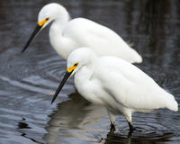 Snowy Egrets Hunting. Two snowy egrets form an almost mirror image as they hunt the salt marsh Royalty Free Stock Image