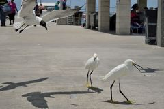 Snowy Egrets and Laughing Gull Royalty Free Stock Images