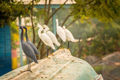 Snowy Egrets and Little Blue Herons royalty free stock photo