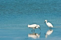 Snowy egrets and reflection looking for food along beach shoreline Royalty Free Stock Photos