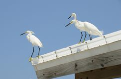 Snowy Egrets on a Roof Royalty Free Stock Images