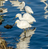 Snowy Egrets Royalty Free Stock Images