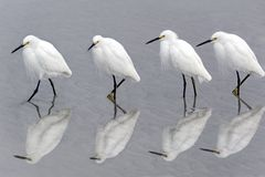 Snowy Egrets Walking on Beach Stock Images