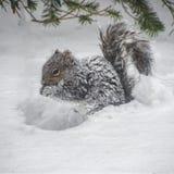 Snowy-Eichhörnchen stockfotos