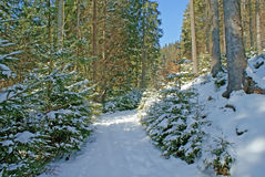 Snowy empty road in the dense coniferous forest in Sunny winter day royalty free stock photography