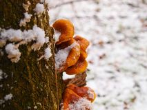 Snowy enokitake mushroom in forest. Royalty Free Stock Image