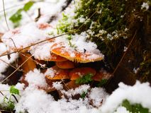 Snowy enokitake mushroom in forest. Latin name Flammulina velutipes. Edible and medicinal stock images