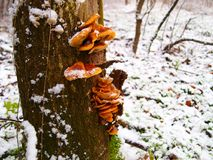 Snowy enokitake mushroom in forest. Latin name Flammulina velutipes. Edible and medicinal royalty free stock photos