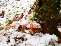 Snowy enokitake mushroom in forest. Royalty Free Stock Images