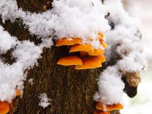 Snowy enokitake mushroom in forest. Latin name Flammulina velutipes. Edible and medicinal royalty free stock photography