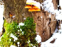 Snowy enokitake mushroom in forest. Latin name Flammulina velutipes. Edible and medicinal royalty free stock photo