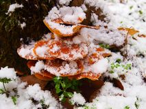 Snowy enokitake mushroom in forest. Latin name Flammulina velutipes. Edible and medicinal stock image
