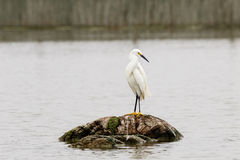 Snowy Erget. Snowy Egret standing on a log in the wetlands looking to the right Stock Images