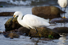 Snowy Erget. Snowy Egret wading in the rocky shoreline looking for food Stock Photos