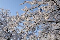 Snowy-Erlenniederlassung lizenzfreie stockbilder