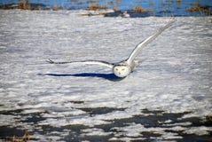Snowy-Eule, die über dem Schnee gleitet Lizenzfreie Stockfotos