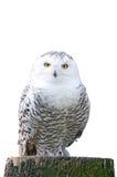 Snowy-Eule, die auf einem Stumpf auf weißem Hintergrund sitzt Stockfotos