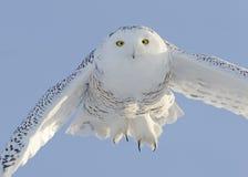 Snowy-Eulen-Flugwesen Stockfotografie