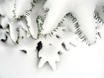 Snowy evergreen. In winter Royalty Free Stock Images