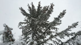 Snowy evergreen cones. Snow frosty afternoon. stock footage