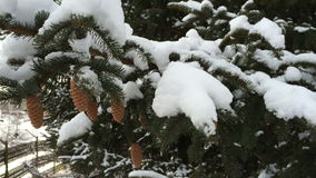 Snowy evergreen cones. Snow frosty afternoon. stock video footage