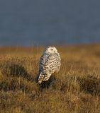 Snowy Eye. A  Snowy Owl is scanning the surronding tundra for its next meal Royalty Free Stock Images