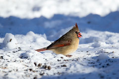 Snowy Female Cardinal. This beautiful Cardinal posed with a seed in her beak royalty free stock image