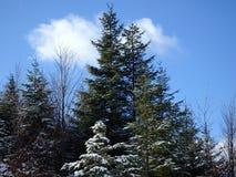 Snowy-Fichte Stockfoto