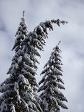 Snowy-Fichte Lizenzfreie Stockfotos