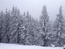 Snowy-Fichten Stockbilder