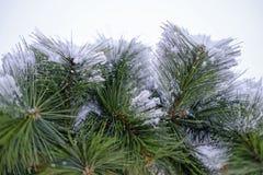 Snowy-Fichtenbeschaffenheit Stockbilder