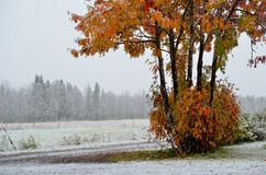 Snowy field and colourful rowan tree in late autumn Stock Photos