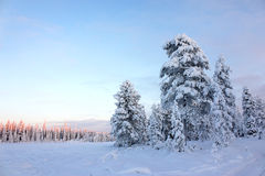 Snowy field pine trees under blue sky Stock Images