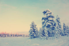 Snowy field pine trees under blue sky with Instagram style filte Royalty Free Stock Photos