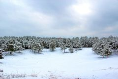 A snowy field in winter in the pine forest stock photo